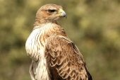 Aquila fasciata 8570 (****)