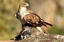 Aquila fasciata 8381 (****)