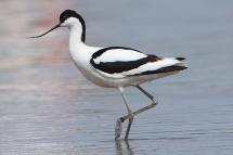 Recurvirostra avosetta 0778 (**)