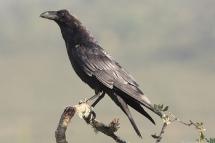 Corvus corax 2149 (***)