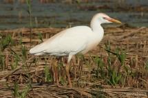 Bubulcus ibis 1614 (**)