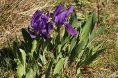 Iris lutescens 4993 (*)