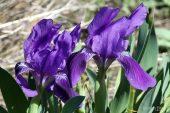 Iris lutescens 4994 (*)