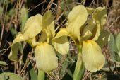 Iris lutescens 4995 (*)