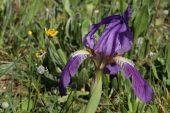 Iris lutescens 4999 (*)