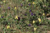 Iris lutescens 5001 (*)