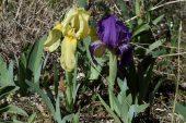 Iris lutescens 5004 (*)