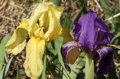 Iris lutescens 5005 (*)