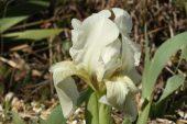 Iris lutescens 5010 (*)