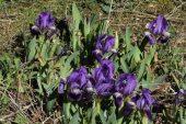 Iris lutescens 5015 (*)