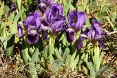 Iris lutescens 5020 (*)