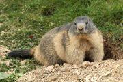 Marmota marmota 4832