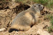 Marmota marmota 4835