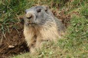 Marmota marmota 4854