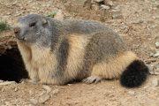 Marmota marmota 4856