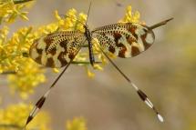 Nemoptera bipennis 9641 (**)