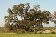 Quercus suber 0393 (*)