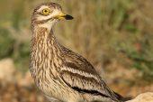 Burhinus oedicnemus 3937 (***)