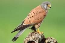 Falco tinnunculus 5327 (***)