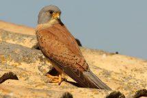 Falco naumanni 1049 (***)